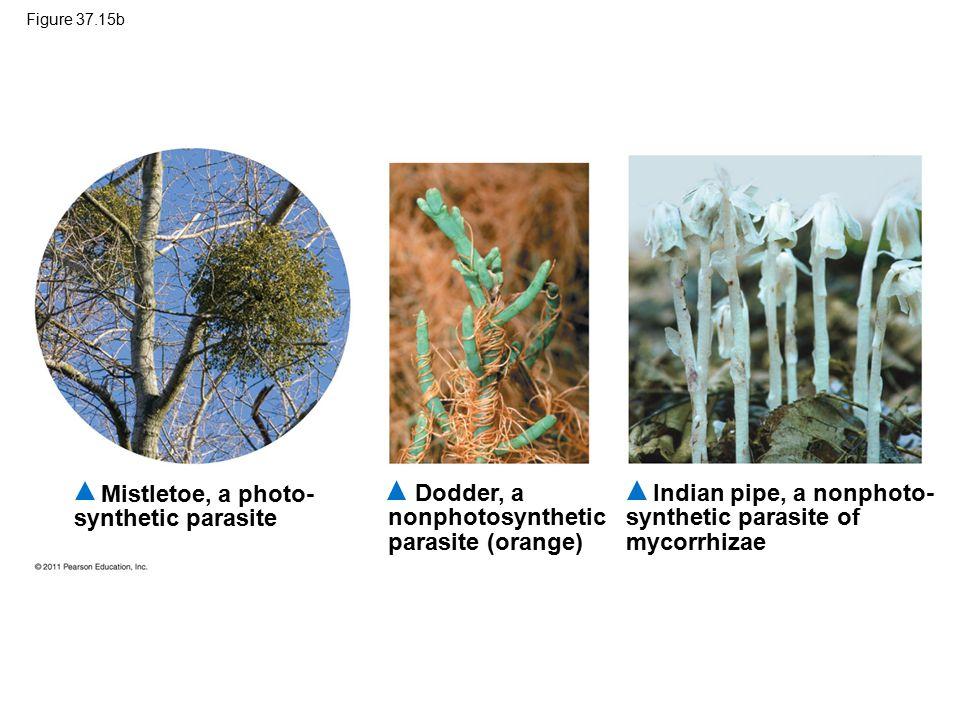 Mistletoe, a photo- synthetic parasite