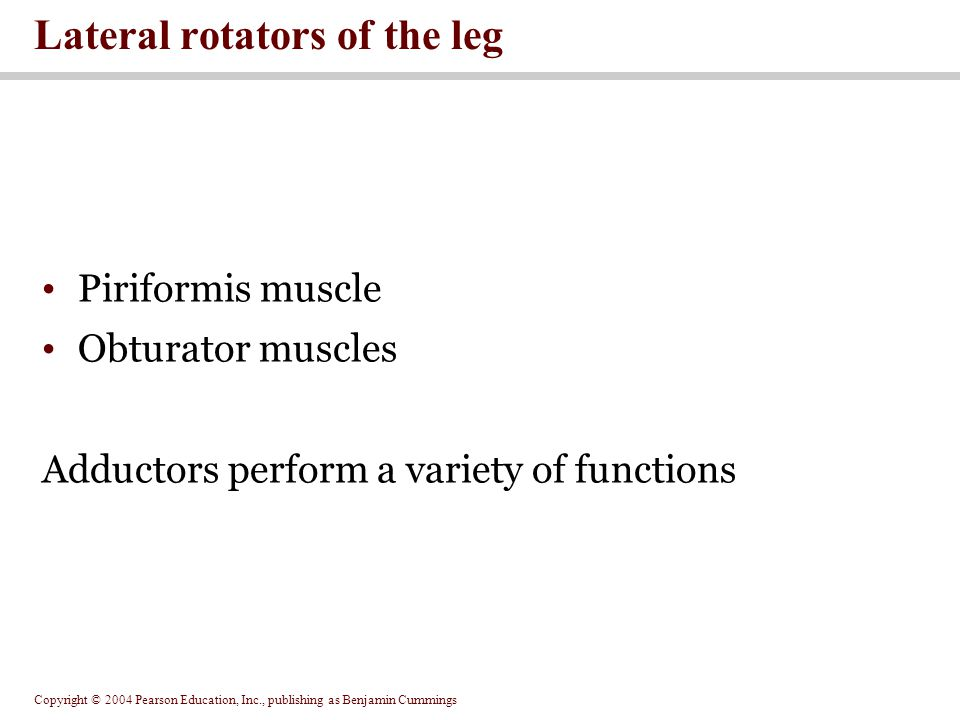 Lateral rotators of the leg