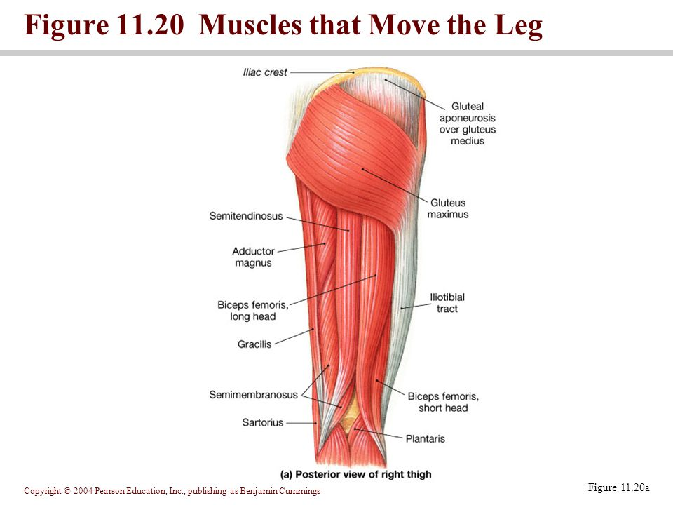 Figure 11.20 Muscles that Move the Leg