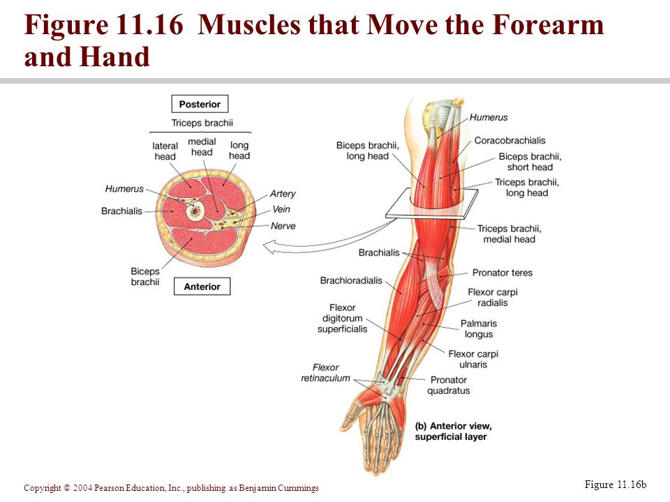 Figure 11.16 Muscles that Move the Forearm and Hand