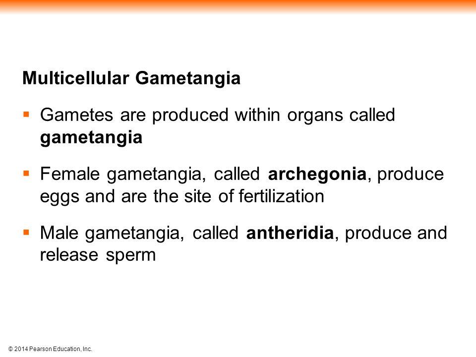 Multicellular Gametangia