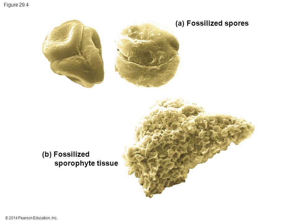 (b) Fossilized sporophyte tissue