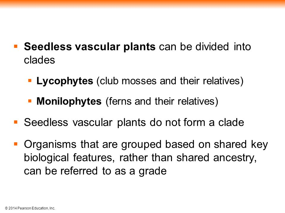 Seedless vascular plants can be divided into clades