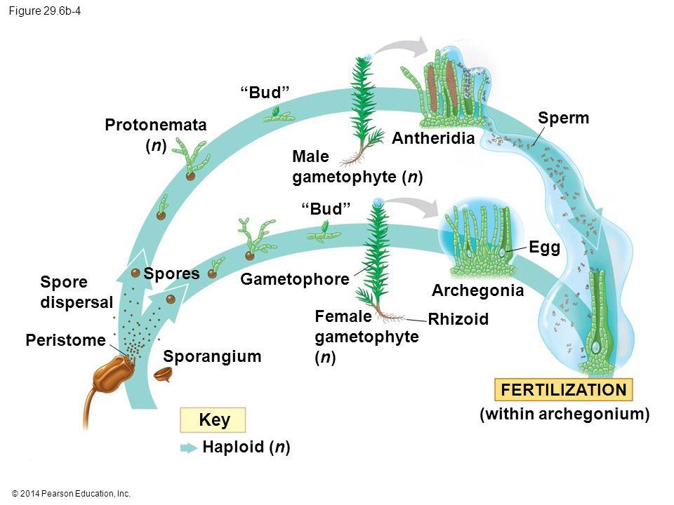 Key Bud Sperm Protonemata (n) Antheridia Male gametophyte (n) Bud