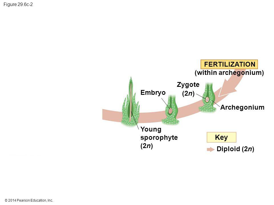 Key FERTILIZATION (within archegonium) Zygote (2n) Embryo Archegonium