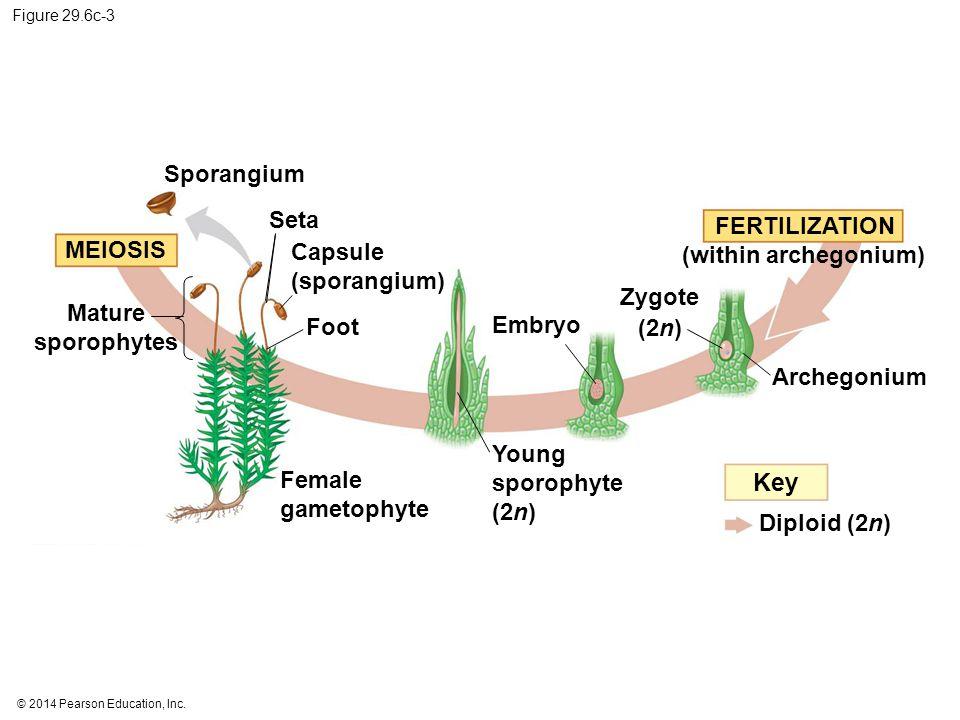 Key Sporangium Seta FERTILIZATION MEIOSIS Capsule (sporangium)