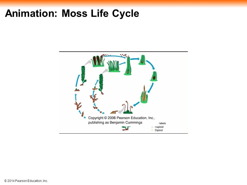 Animation: Moss Life Cycle