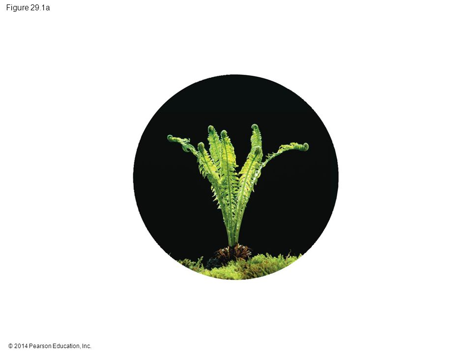 Figure 29.1a Figure 29.1a How did plants change the world (part 1: fern)