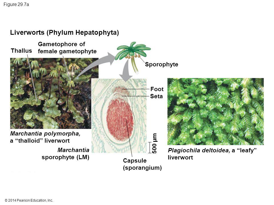 Liverworts (Phylum Hepatophyta)