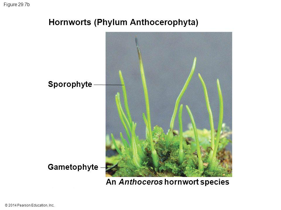 Hornworts (Phylum Anthocerophyta)
