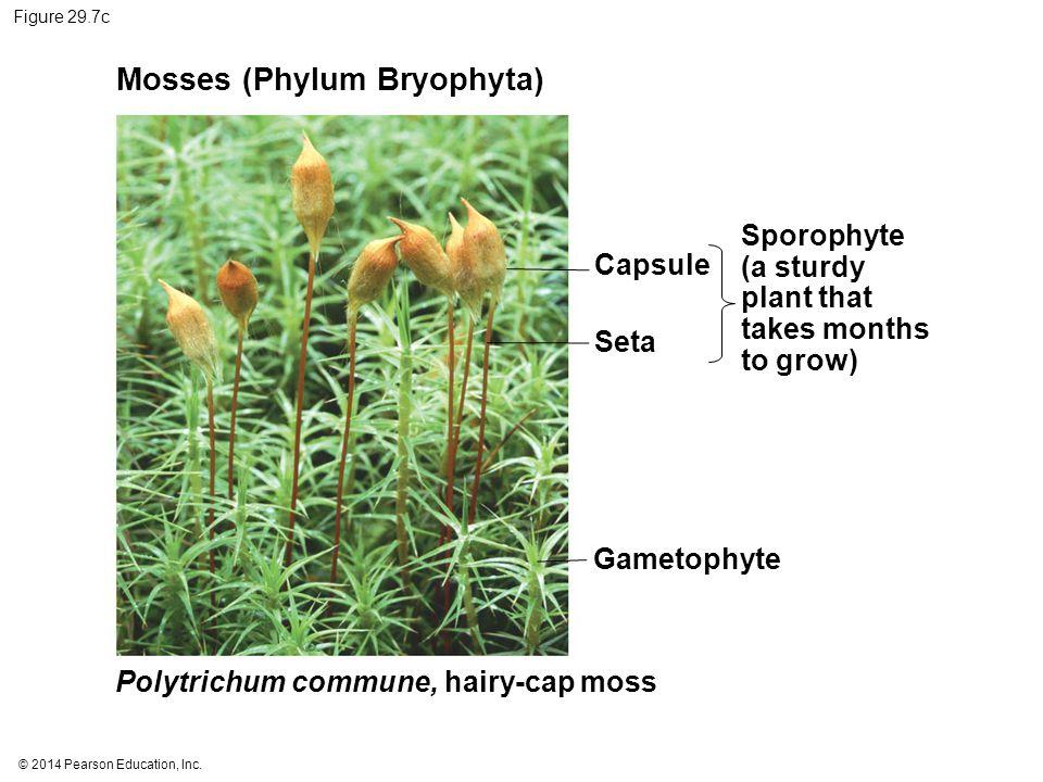 Mosses (Phylum Bryophyta)