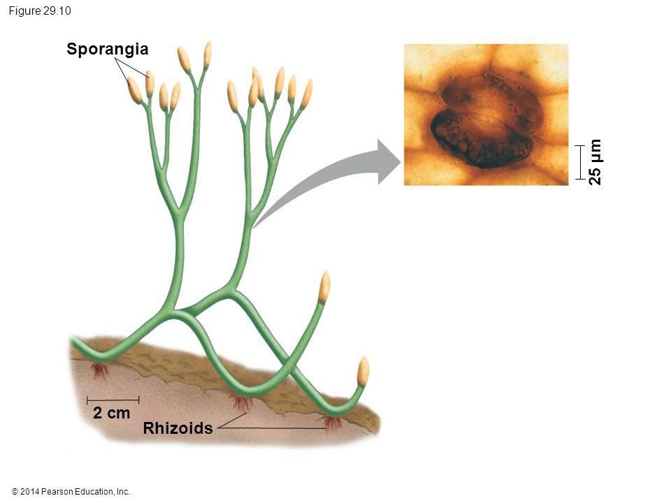 Sporangia 25 µm 2 cm Rhizoids Figure 29.10