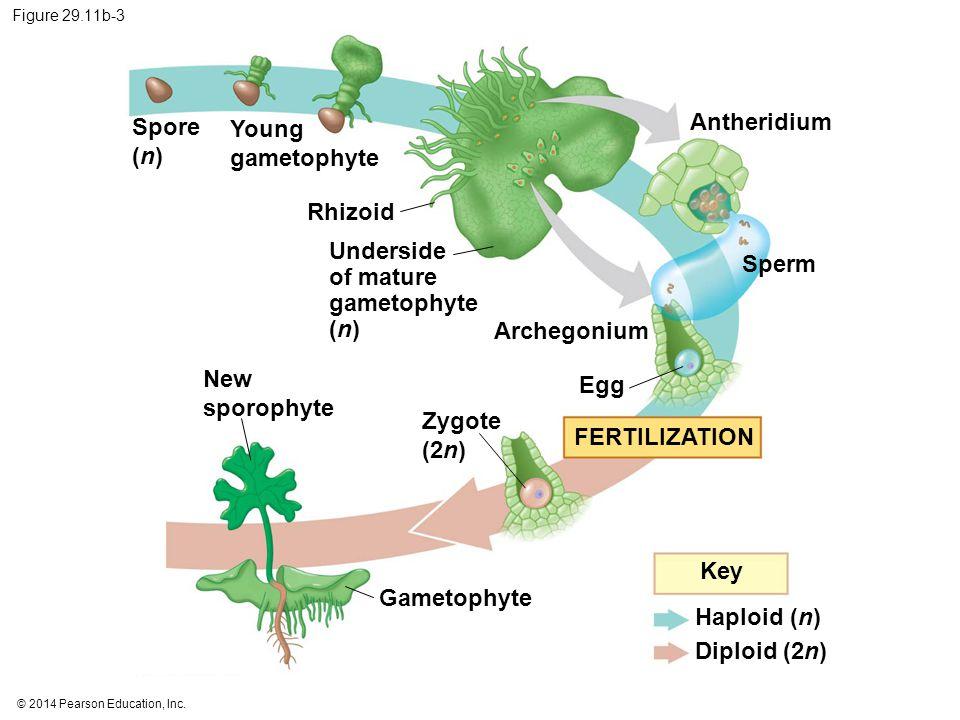 Underside of mature gametophyte (n) Sperm