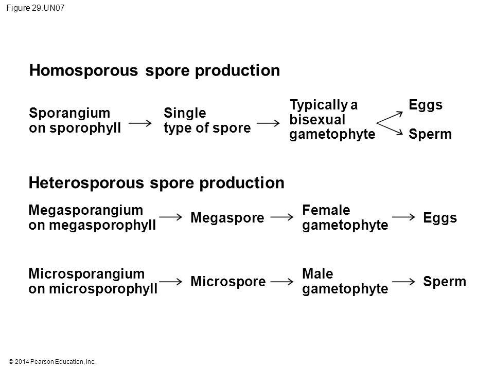 Homosporous spore production