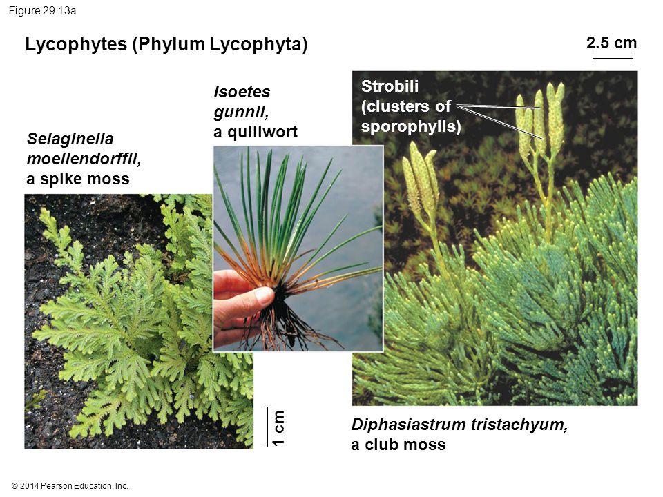 Lycophytes (Phylum Lycophyta)