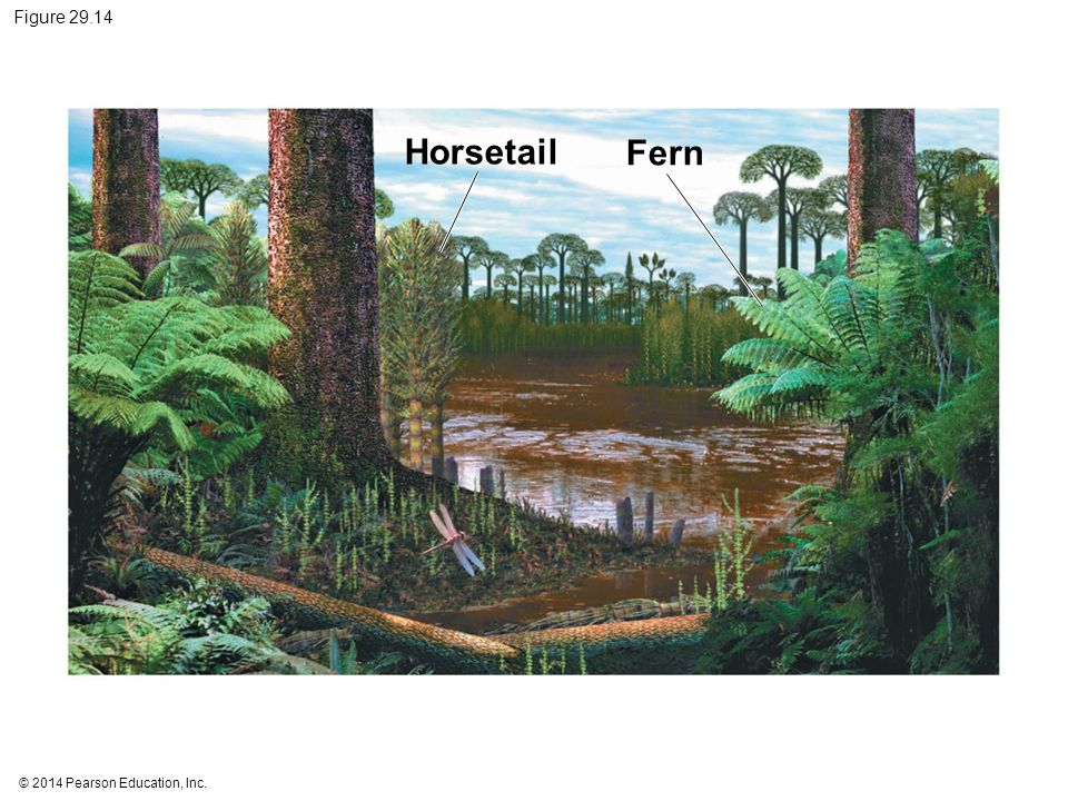 Figure 29.14 Horsetail. Fern.