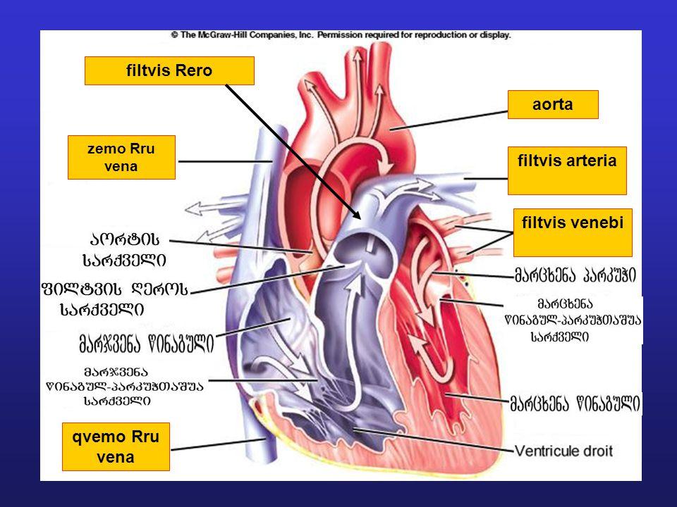 filtvis Rero aorta filtvis arteria filtvis venebi qvemo Rru vena