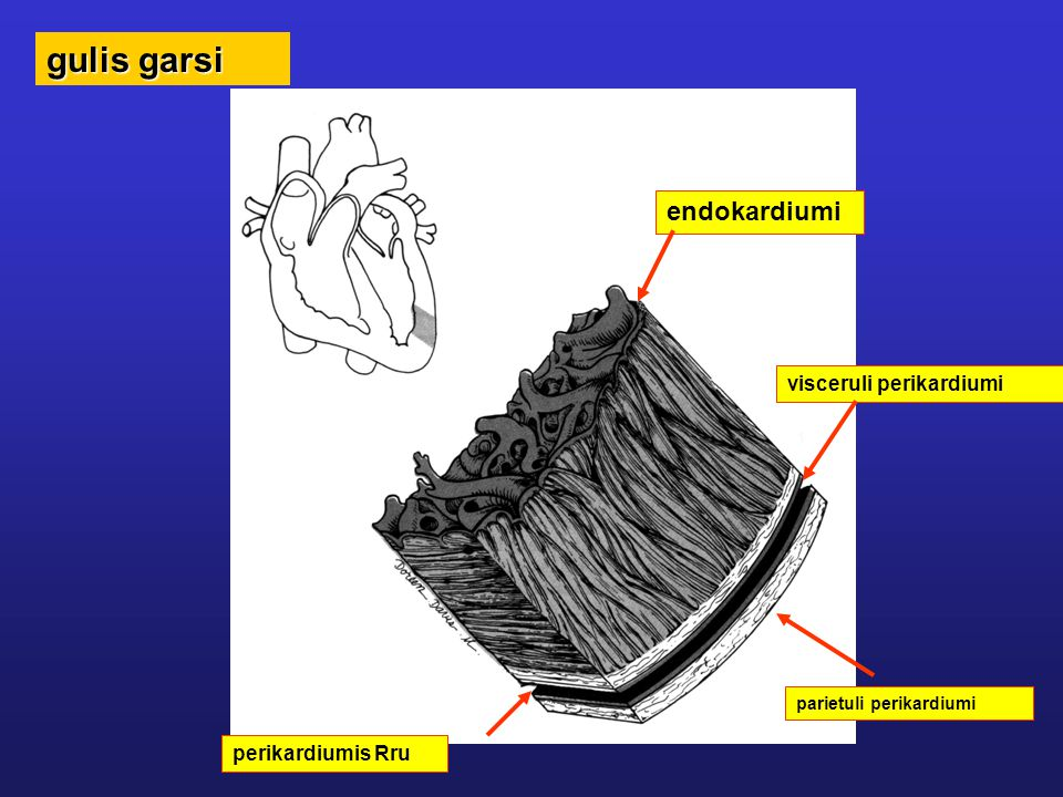 gulis garsi endokardiumi visceruli perikardiumi perikardiumis Rru