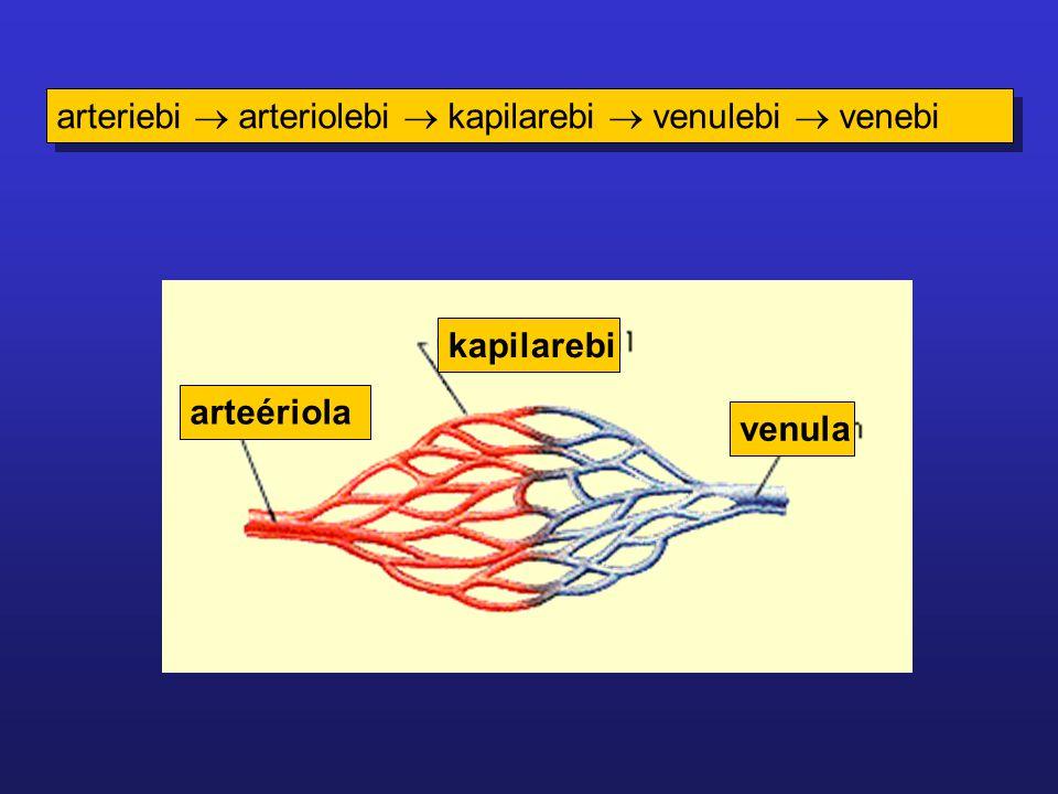 arteriebi  arteriolebi  kapilarebi  venulebi  venebi