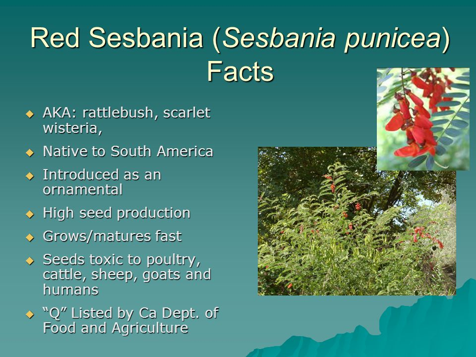 Red Sesbania (Sesbania punicea) Facts