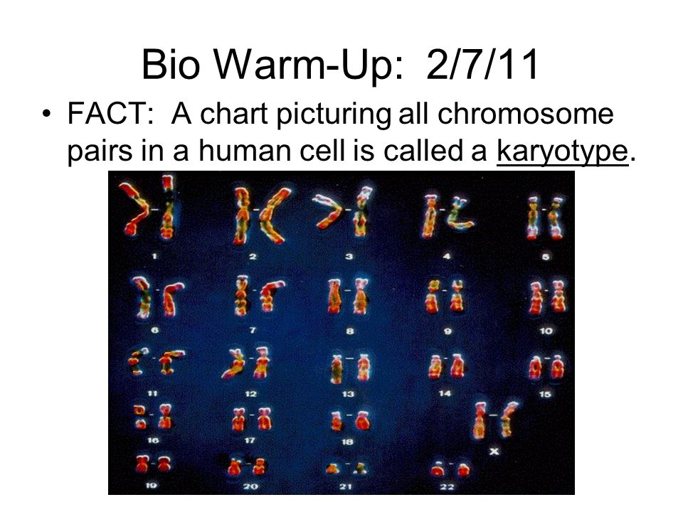 Bio Warm-Up: 2/7/11 FACT: A chart picturing all chromosome pairs in a human cell is called a karyotype.