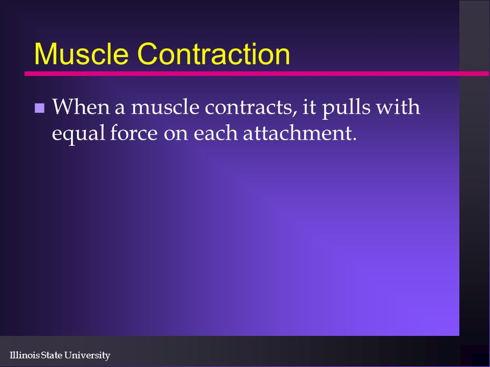 Muscle Contraction When a muscle contracts, it pulls with equal force on each attachment.