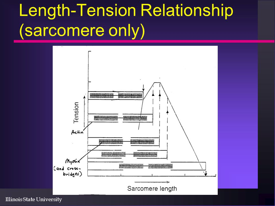 Length-Tension Relationship (sarcomere only)