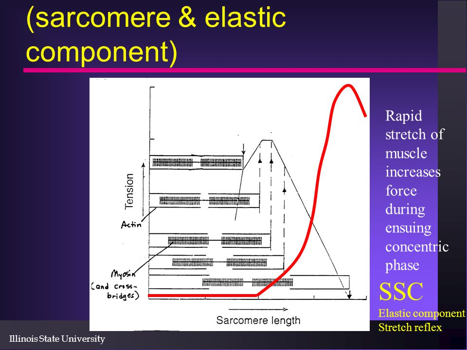 Length-Tension Relationship (sarcomere & elastic component)