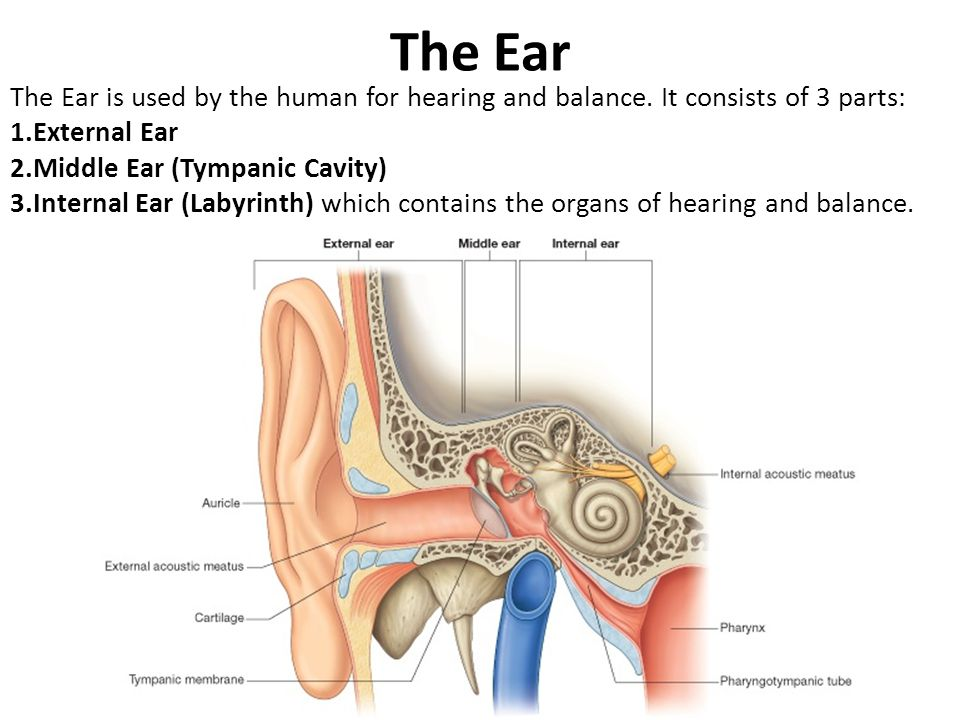 The Ear The Ear is used by the human for hearing and balance. It consists of 3 parts: External Ear.
