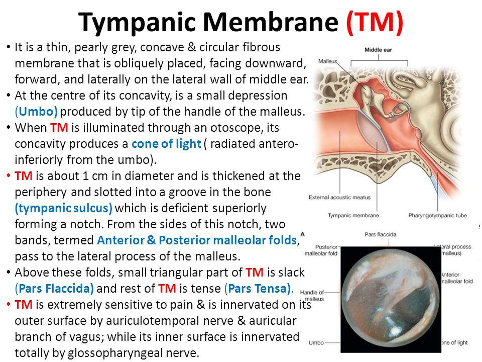 Tympanic Membrane (TM)