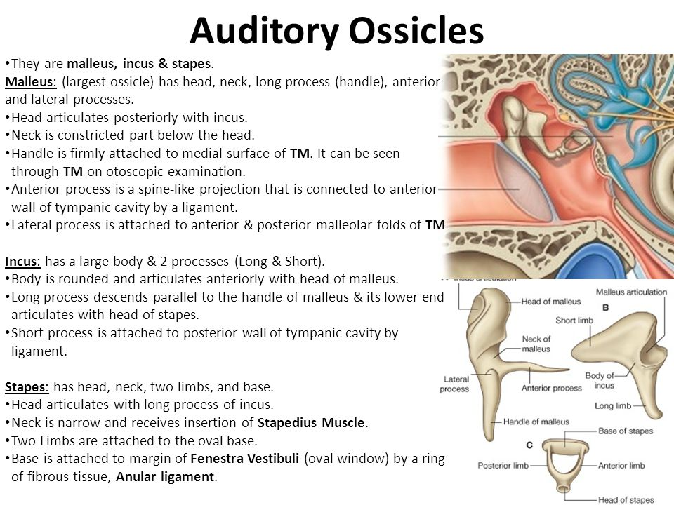Auditory Ossicles They are malleus, incus & stapes.