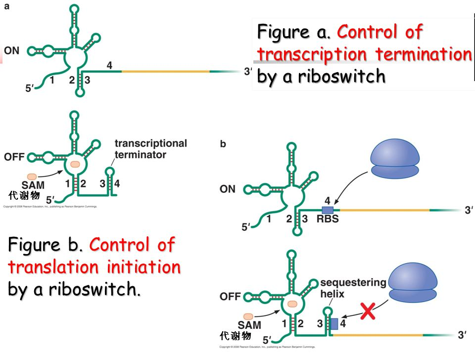 Figure a. Control of transcription termination by a riboswitch