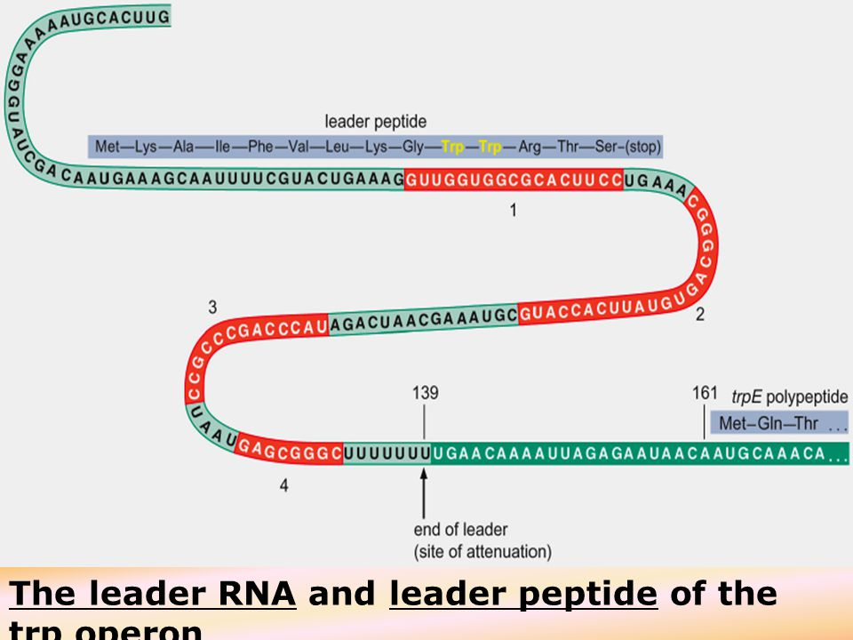 The leader RNA and leader peptide of the trp operon