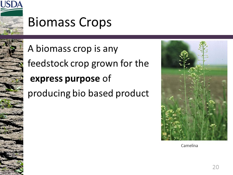 Biomass Crops A biomass crop is any feedstock crop grown for the express purpose of producing bio based product