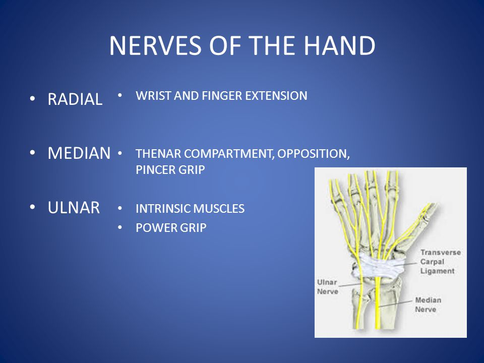 NERVES OF THE HAND RADIAL MEDIAN ULNAR WRIST AND FINGER EXTENSION