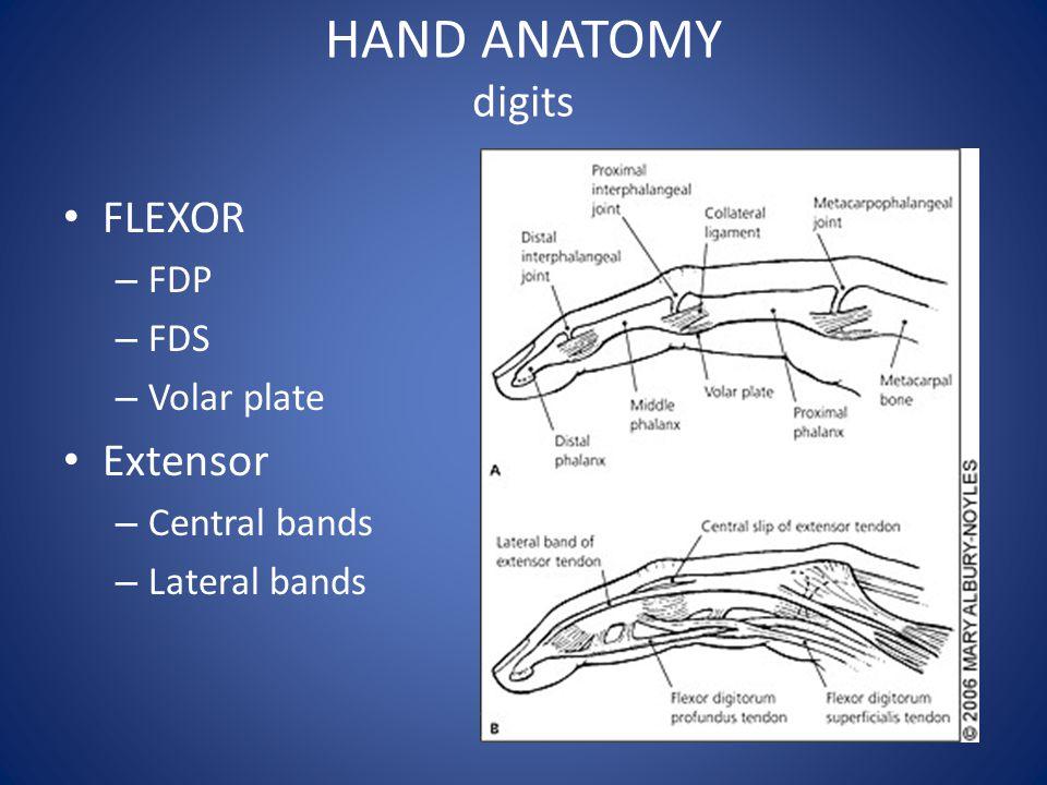 HAND ANATOMY digits FLEXOR Extensor FDP FDS Volar plate Central bands