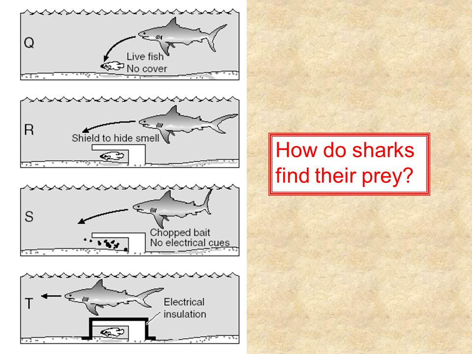 How do sharks find their prey