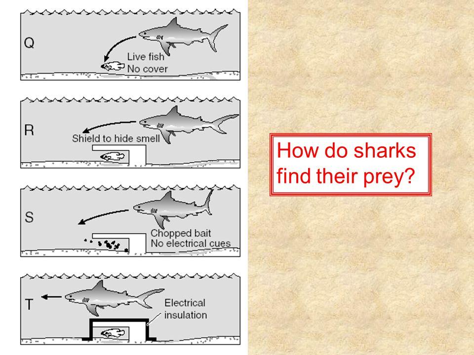 How do sharks find their prey