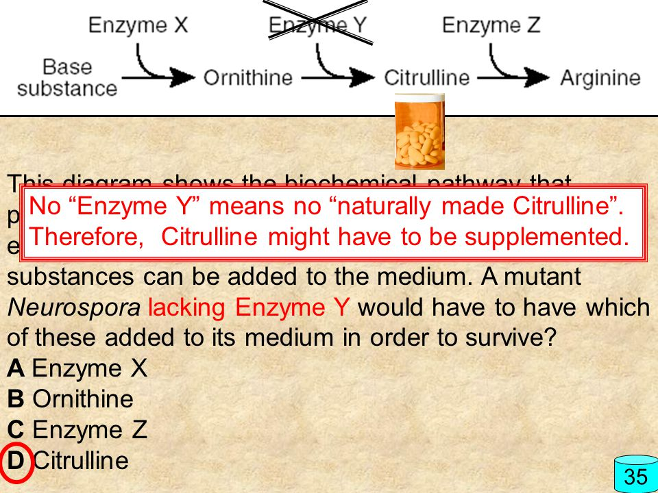 No Enzyme Y means no naturally made Citrulline .
