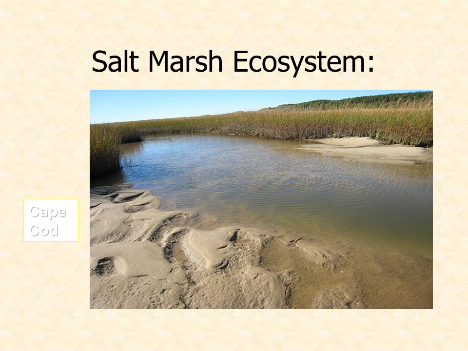 Salt Marsh Ecosystem: Cape Cod
