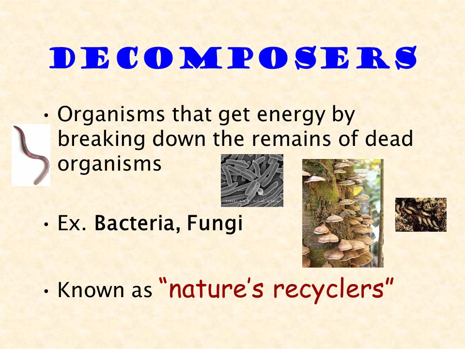 Decomposers Organisms that get energy by breaking down the remains of dead organisms. Ex. Bacteria, Fungi.