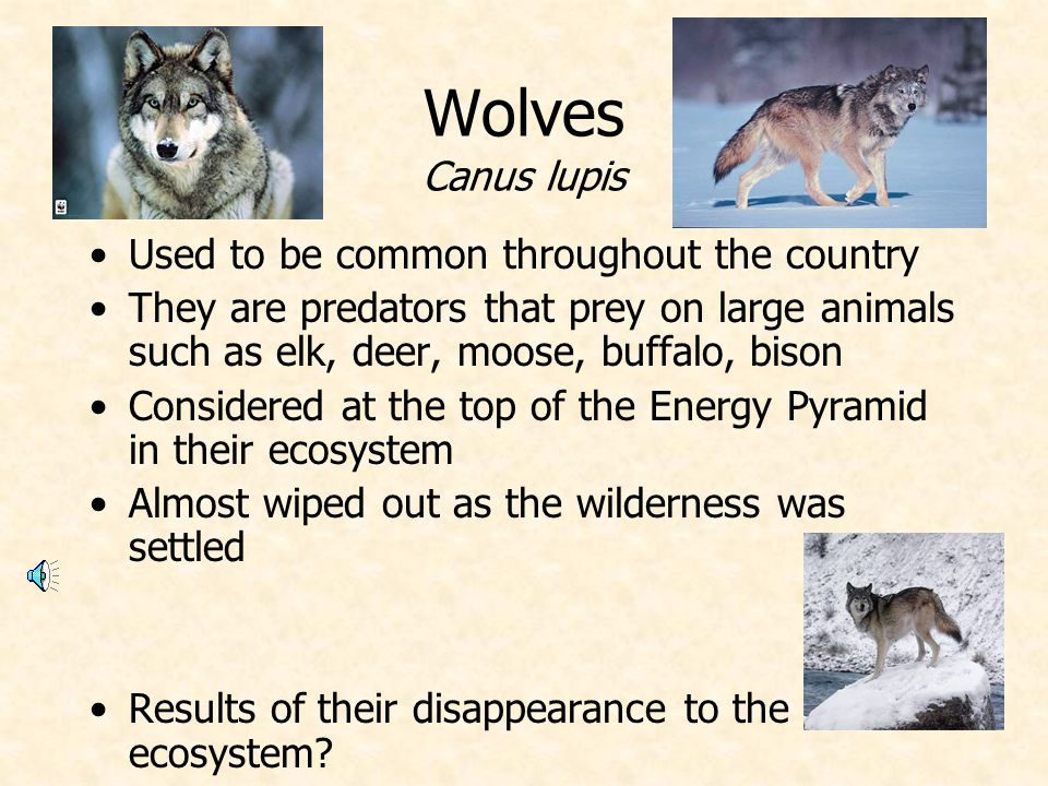 Wolves Canus lupis Used to be common throughout the country