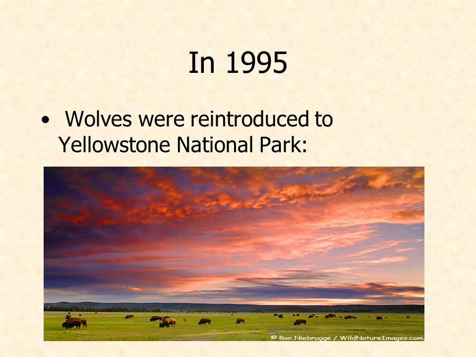 In 1995 Wolves were reintroduced to Yellowstone National Park: