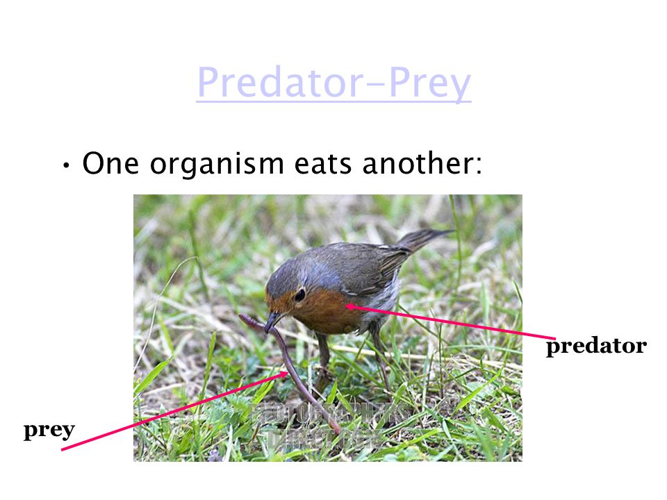 Predator-Prey One organism eats another: predator prey