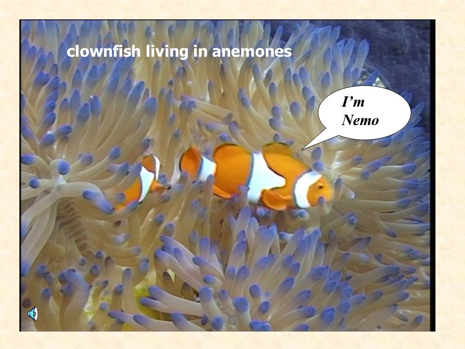 clownfish living in anemones