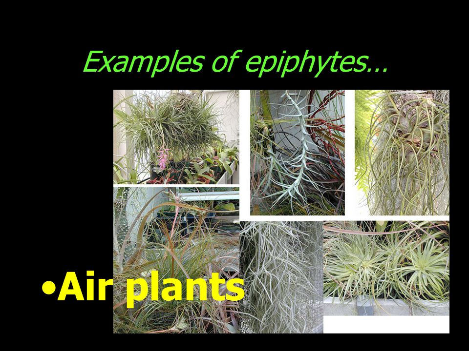 Examples of epiphytes…
