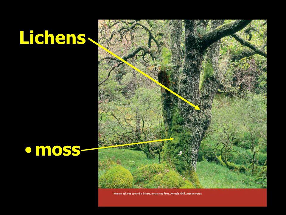 Lichens moss