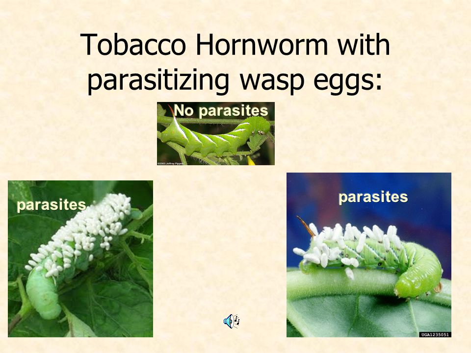 Tobacco Hornworm with parasitizing wasp eggs: