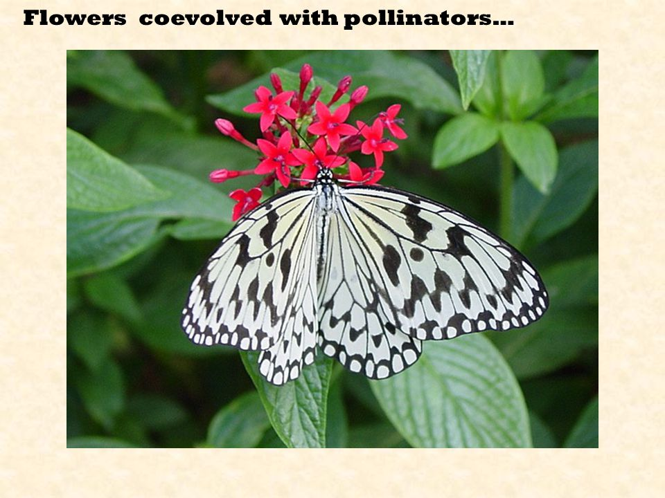 Flowers coevolved with pollinators…