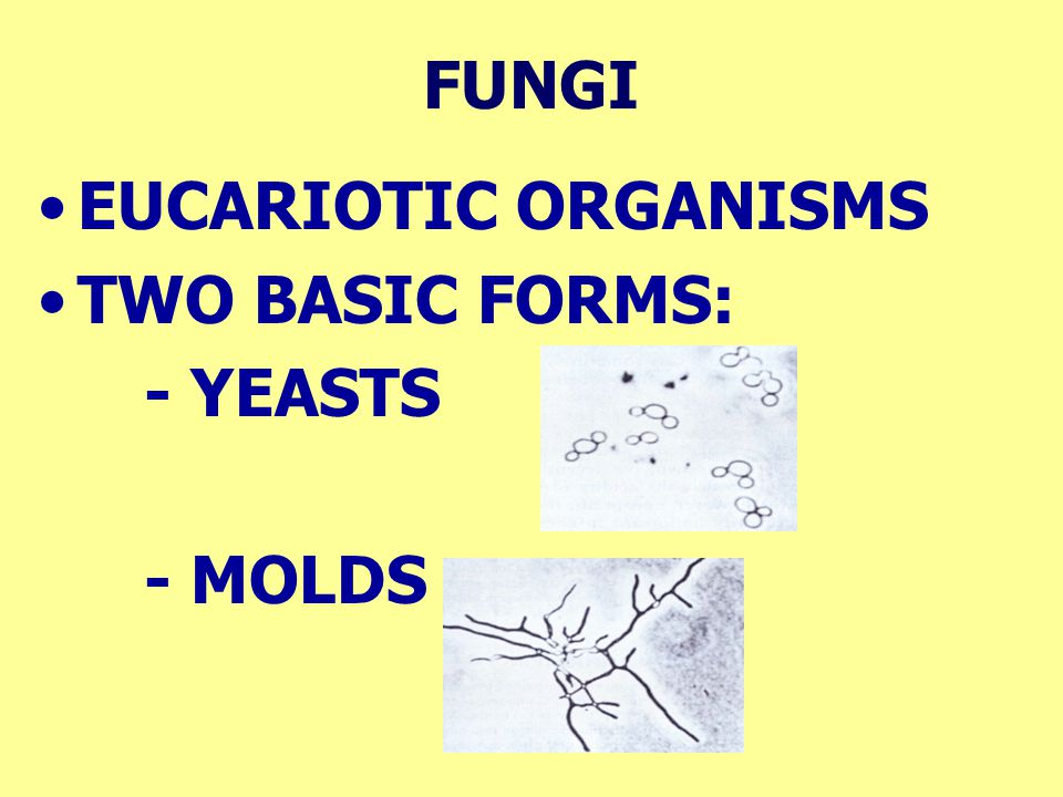 FUNGI EUCARIOTIC ORGANISMS TWO BASIC FORMS: - YEASTS - MOLDS